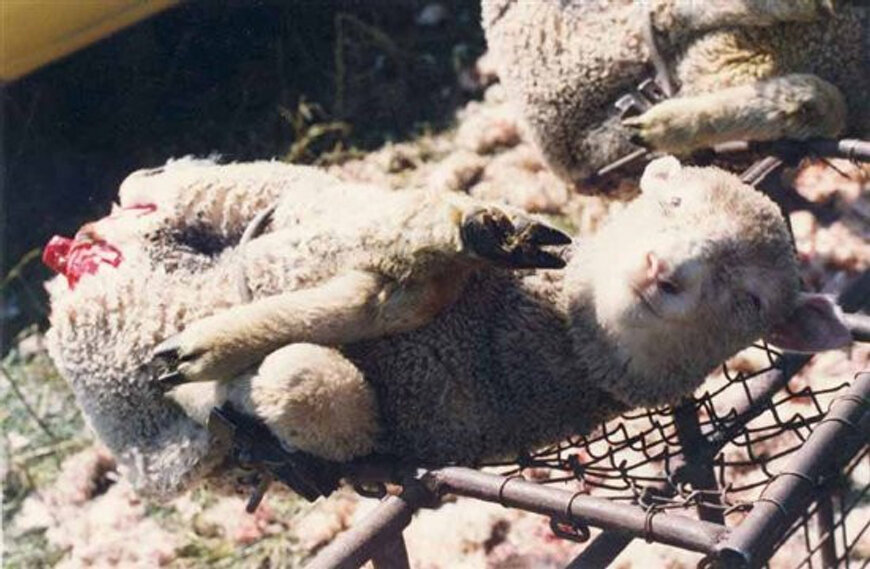 Farm groups in Australia have since launched a formal complaint against the advert, which was part of an ongoing campaign against mulesing, where skin is removed from lambs' backsides to .