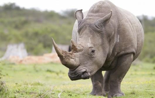 Southern_White_Rhino-592x374