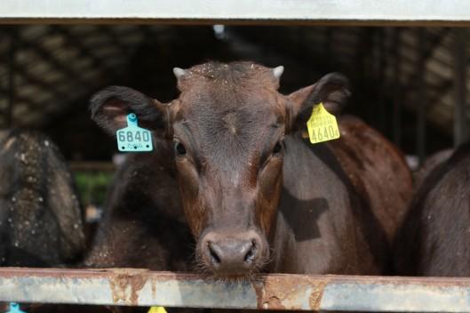 farm-cow-1200x800