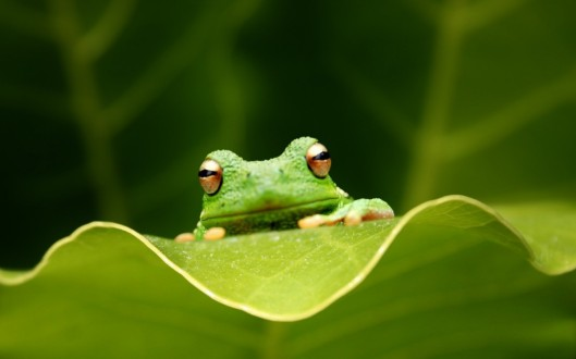 Green_Frog_HD_wallpaper-1280x800-1200x750