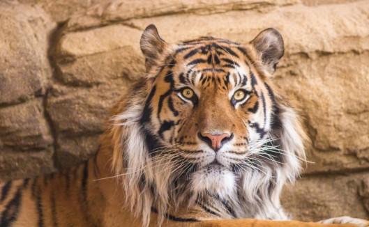 tiger-1200x741