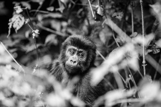 moutinan-gorilla-1200x798