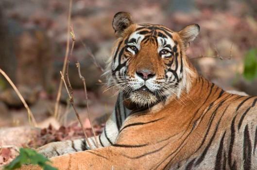 tiger2-1200x792