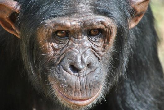 chimp3-1195x800