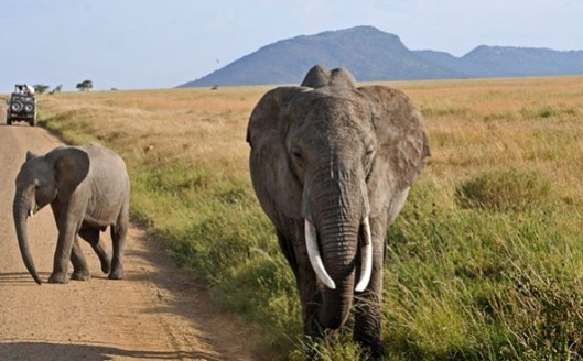 elephants-592x368