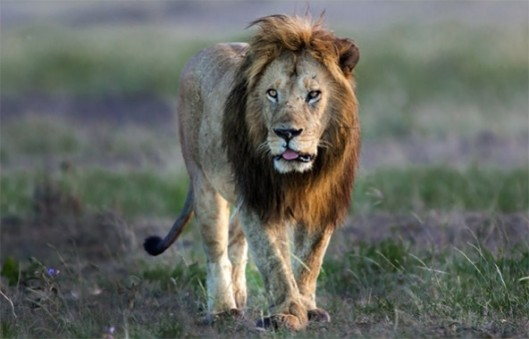 africa-lions-592x380