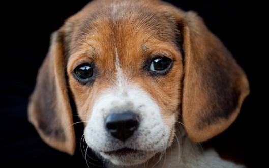 beagle-1200x750