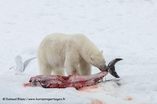 How the Human Addiction to Hamburgers is Driving Polar Bears to Eat Dolphins