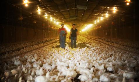 VegNews.ChickenFarm