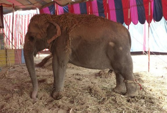 Wildlife SOS Sets Out to Free all of India's Circus Elephants!