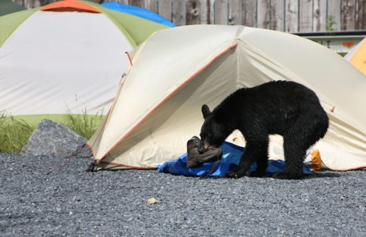 bear invades tent